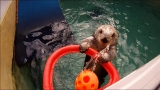 Otterly brilliant: Portland sea otter keeps fit by shooting hoops