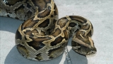 102 pythons caught as state snake hunt enters final day