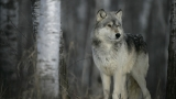 How many wolves has Dept. of Agriculture killed in Idaho? Board won't tell state senator